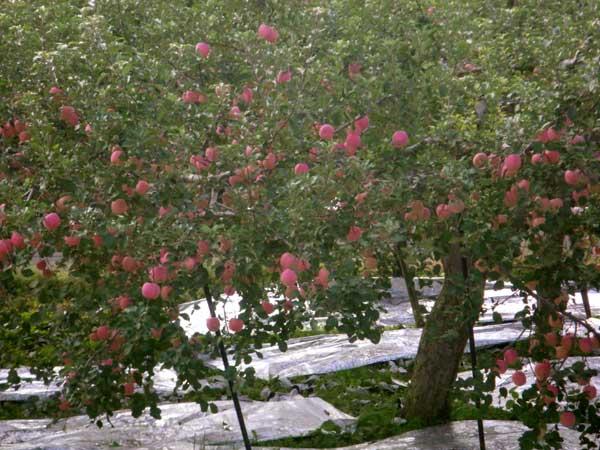 五能線 木造りー弘前、リンゴと田んぼ_a0136293_11573687.jpg