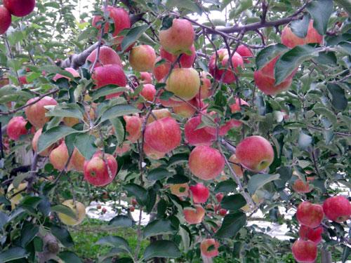 五能線 木造りー弘前、リンゴと田んぼ_a0136293_120194.jpg
