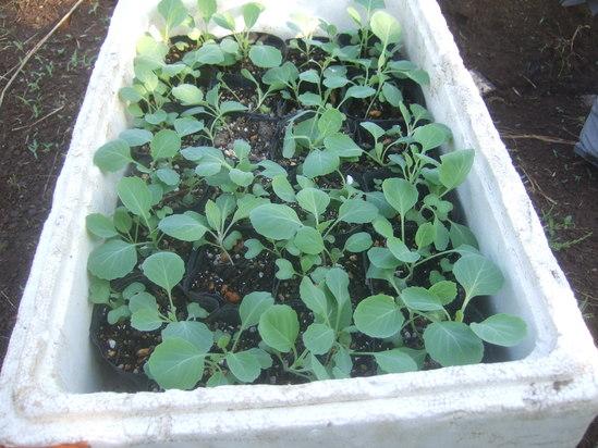 来春収穫野菜の種まき.....野菜の高騰歓迎!_b0137932_2241765.jpg