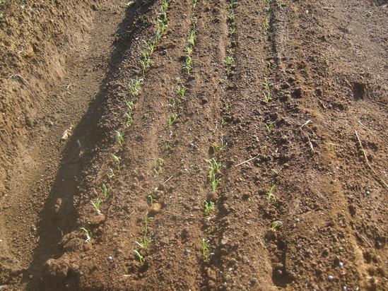 来春収穫野菜の種まき.....野菜の高騰歓迎!_b0137932_2244016.jpg