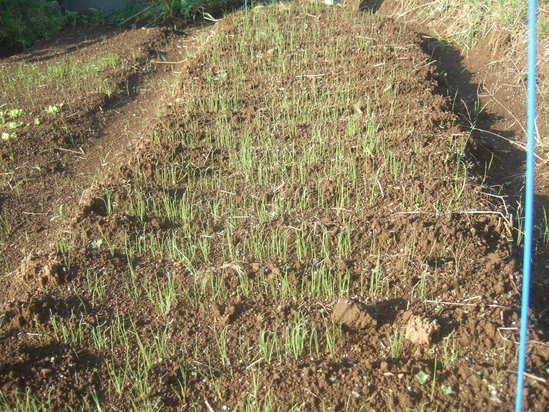 来春収穫野菜の種まき.....野菜の高騰歓迎!_b0137932_2245629.jpg