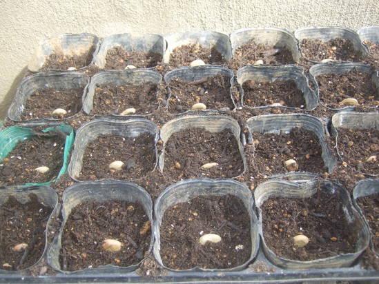 来春収穫野菜の種まき.....野菜の高騰歓迎!_b0137932_2263945.jpg