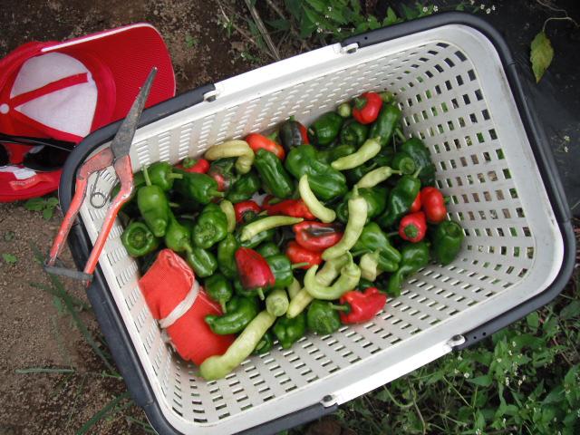 ピーマンの収穫順調・・落花生も・・各畝の雑草取り忙しくなっています_c0222448_12253558.jpg