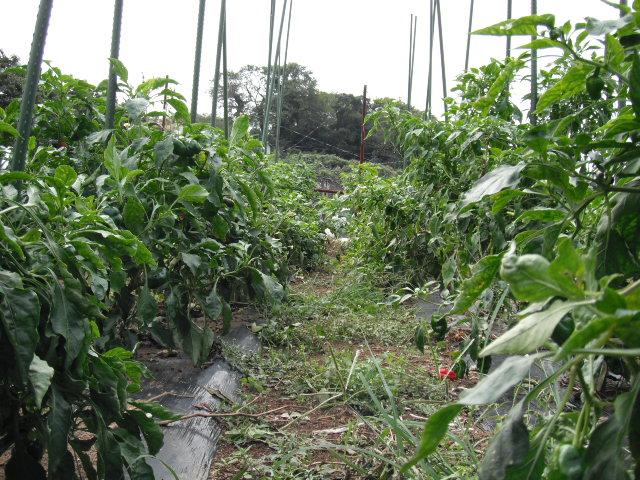 ピーマンの収穫順調・・落花生も・・各畝の雑草取り忙しくなっています_c0222448_1225479.jpg