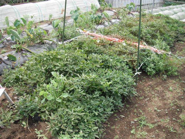 ピーマンの収穫順調・・落花生も・・各畝の雑草取り忙しくなっています_c0222448_12255372.jpg