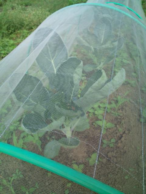 ピーマンの収穫順調・・落花生も・・各畝の雑草取り忙しくなっています_c0222448_12261699.jpg