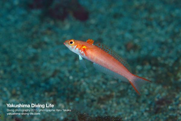 オヨギトラギス見っけた!~屋久島と伊豆での生物生息水深の違い~_b0186442_2024571.jpg