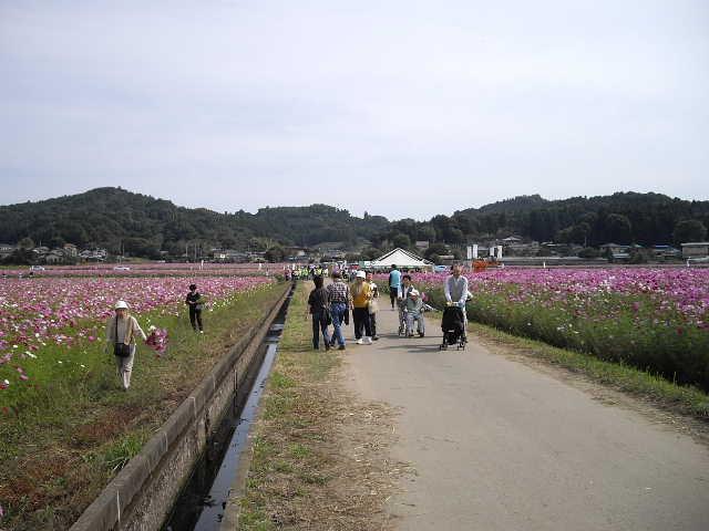 秋桜が、すごくきれいです_d0101562_1358304.jpg
