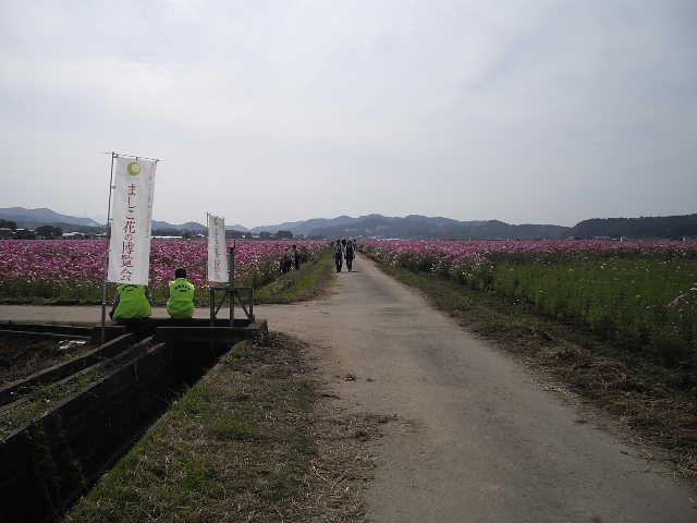 秋桜が、すごくきれいです_d0101562_13591436.jpg