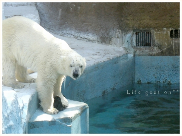 天王寺動物園 白クマゴーゴ君♪_b0155684_15154927.jpg