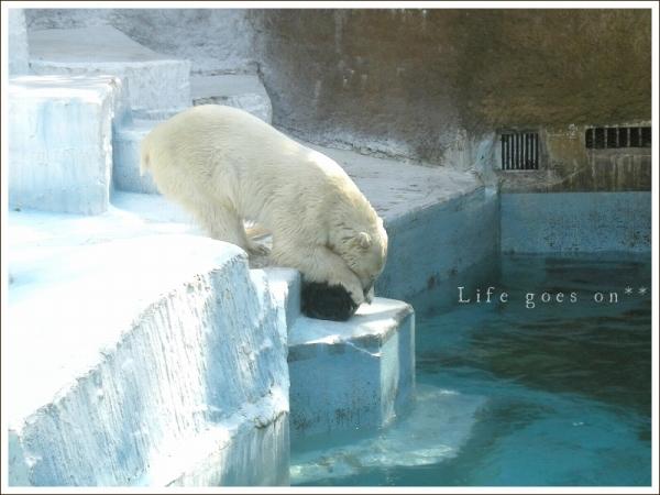 天王寺動物園 白クマゴーゴ君♪_b0155684_15155079.jpg