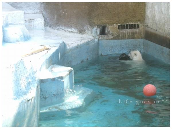 天王寺動物園 白クマゴーゴ君♪_b0155684_15155084.jpg