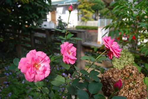 名無しのバラ、シュウメイギク_c0124100_22372993.jpg