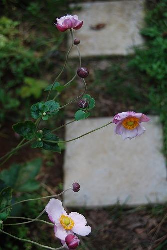 名無しのバラ、シュウメイギク_c0124100_22375712.jpg