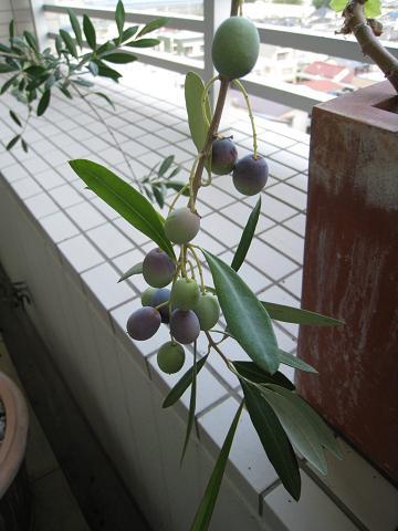 オリーブの収穫_b0107003_1557139.jpg