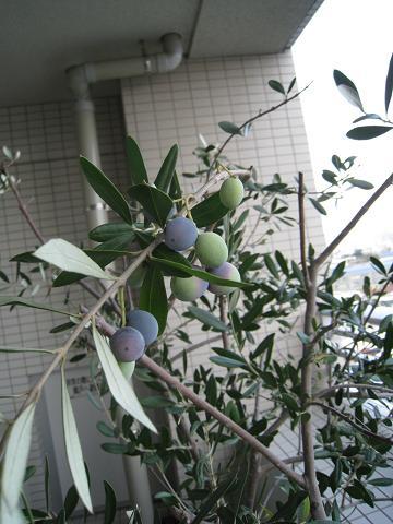 オリーブの収穫_b0107003_1557665.jpg