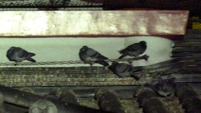 観音堂のハト (街の鳥さんたち)_e0088233_0365418.jpg
