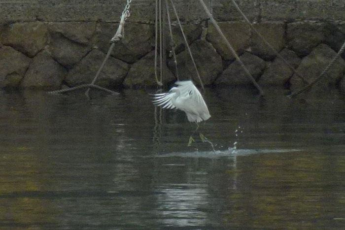 水面タッチ&ゴーで餌捕りする コサギ_e0088233_21324671.jpg