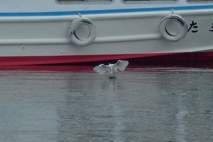水面タッチ&ゴーで餌捕りする コサギ_e0088233_21363961.jpg