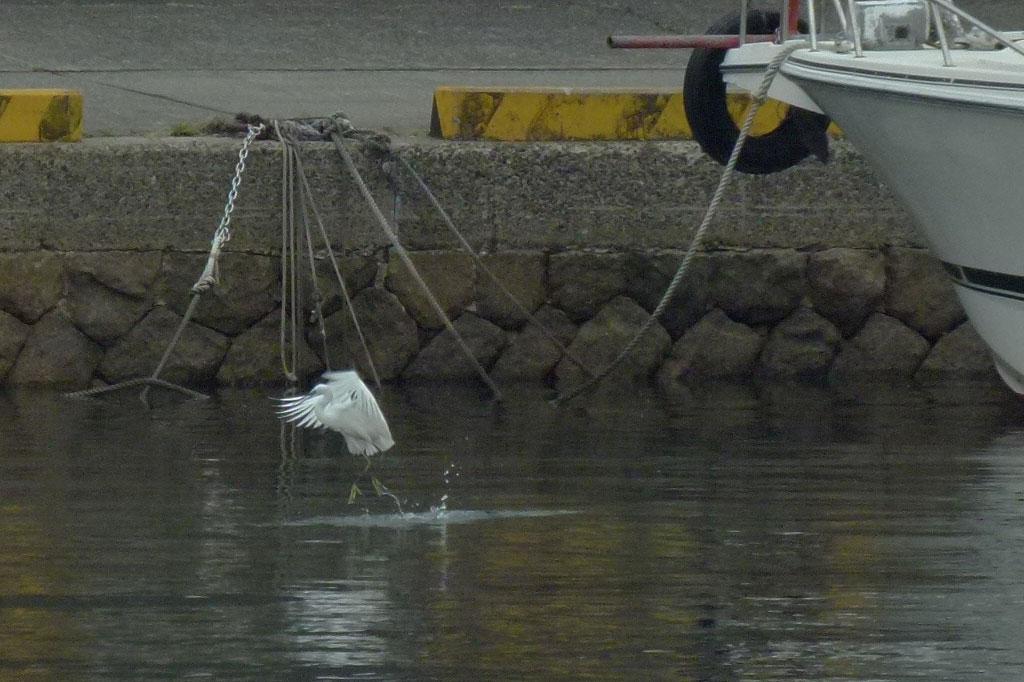 水面タッチ&ゴーで餌捕りする コサギ_e0088233_2148614.jpg