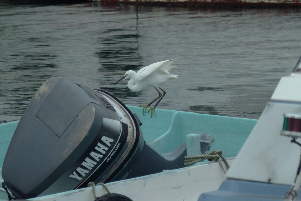 水面タッチ&ゴーで餌捕りする コサギ_e0088233_2312515.jpg