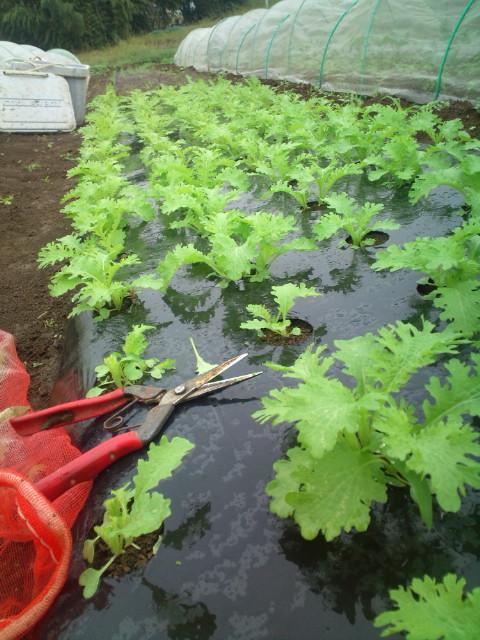 葉物多種 収穫始まります_c0222448_2031107.jpg
