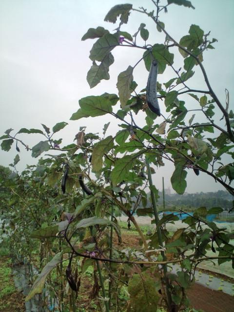 葉物多種 収穫始まります_c0222448_20384548.jpg