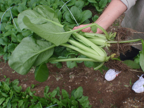 カブ 収穫_b0201492_1701162.jpg