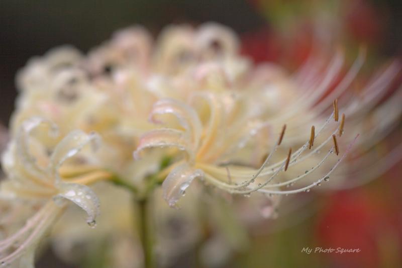 白い彼岸花と雫_c0167028_2312528.jpg