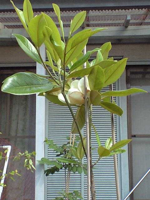 泰山木の花が咲いたよ♪_c0197684_13295328.jpg