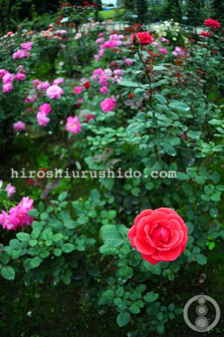 Rose Garden part 1_c0229485_17535894.jpg