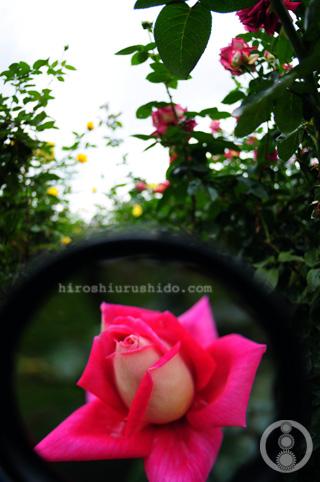 Rose Garden part 1_c0229485_1754015.jpg