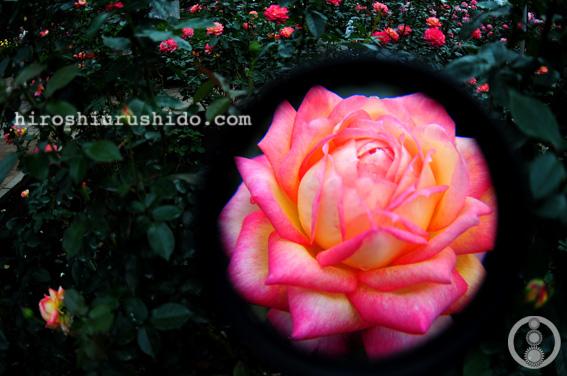 Rose Garden part 2_c0229485_2374651.jpg