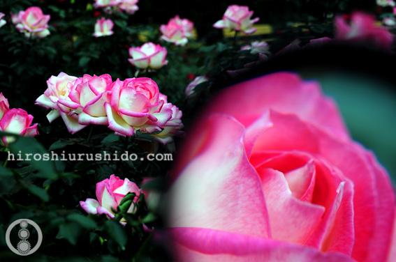Rose Garden part 2_c0229485_2374946.jpg