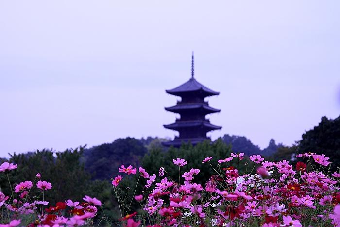 """""""コスモスと五重塔""""_a0140608_794918.jpg"""