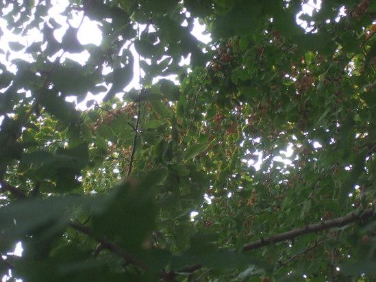 コスモスの花満開.....銀杏も!_b0137932_19224851.jpg