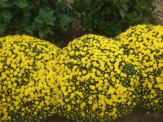 コスモスの花満開.....銀杏も!_b0137932_19231089.jpg
