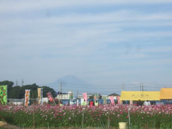 コスモスの花満開.....銀杏も!_b0137932_19241753.jpg