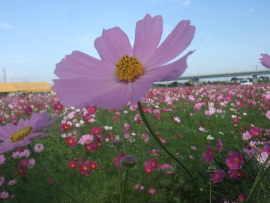 コスモスの花満開.....銀杏も!_b0137932_19251970.jpg