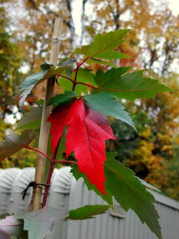紅葉真っ盛りのマイガーデンとバードフィーダ。_b0165760_21194369.jpg