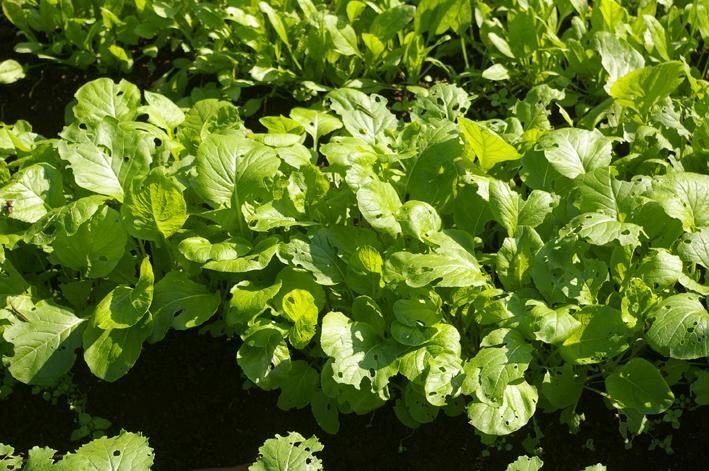 コマツナ初収穫、例年になく野菜順調に成育(10・10・22)_c0014967_22561739.jpg