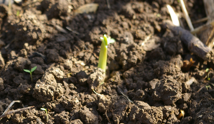 コマツナ初収穫、例年になく野菜順調に成育(10・10・22)_c0014967_2345053.jpg