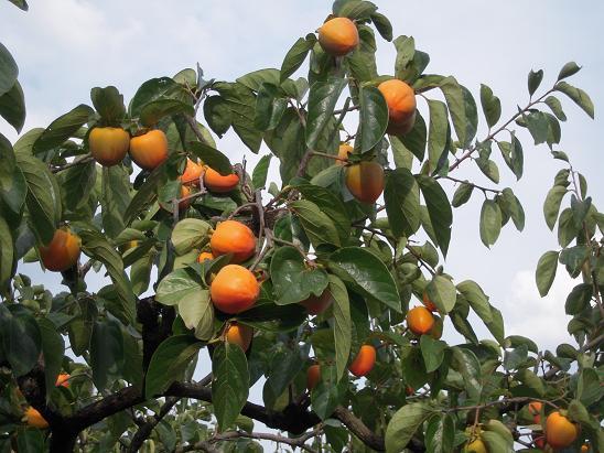 柿畑_a0164068_07968.jpg