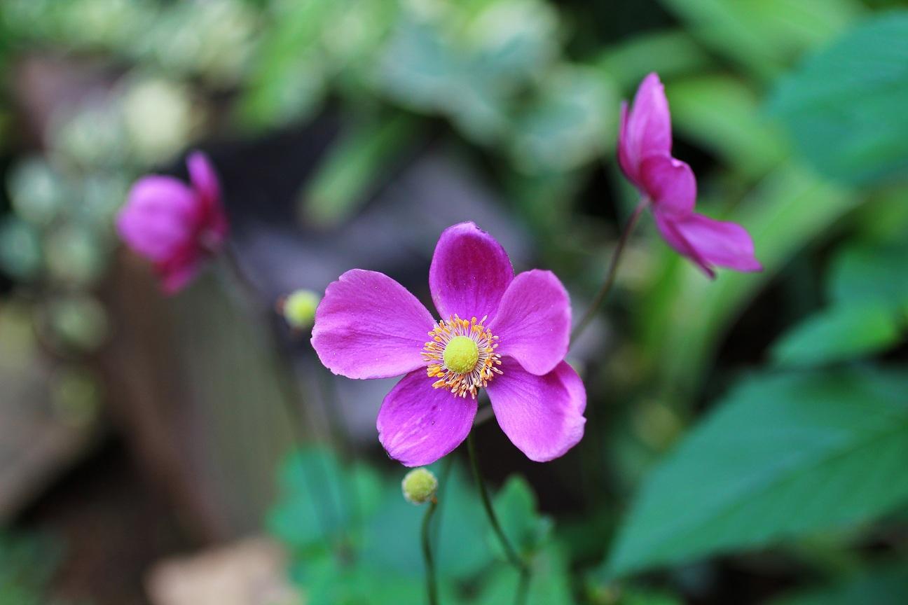 ピンクのシュウメイギク(秋明菊)_a0107574_7214392.jpg