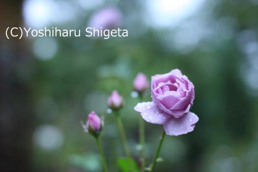 ~薔薇語り~_c0152400_02258.jpg