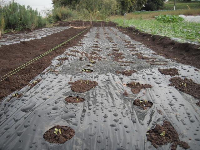 蕪の収穫始まりました。_c0222448_11172521.jpg