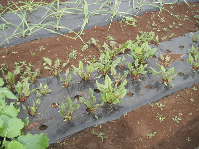 蕪の収穫始まりました。_c0222448_11175625.jpg
