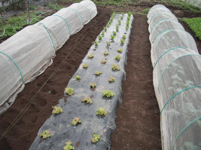 蕪の収穫始まりました。_c0222448_11181865.jpg