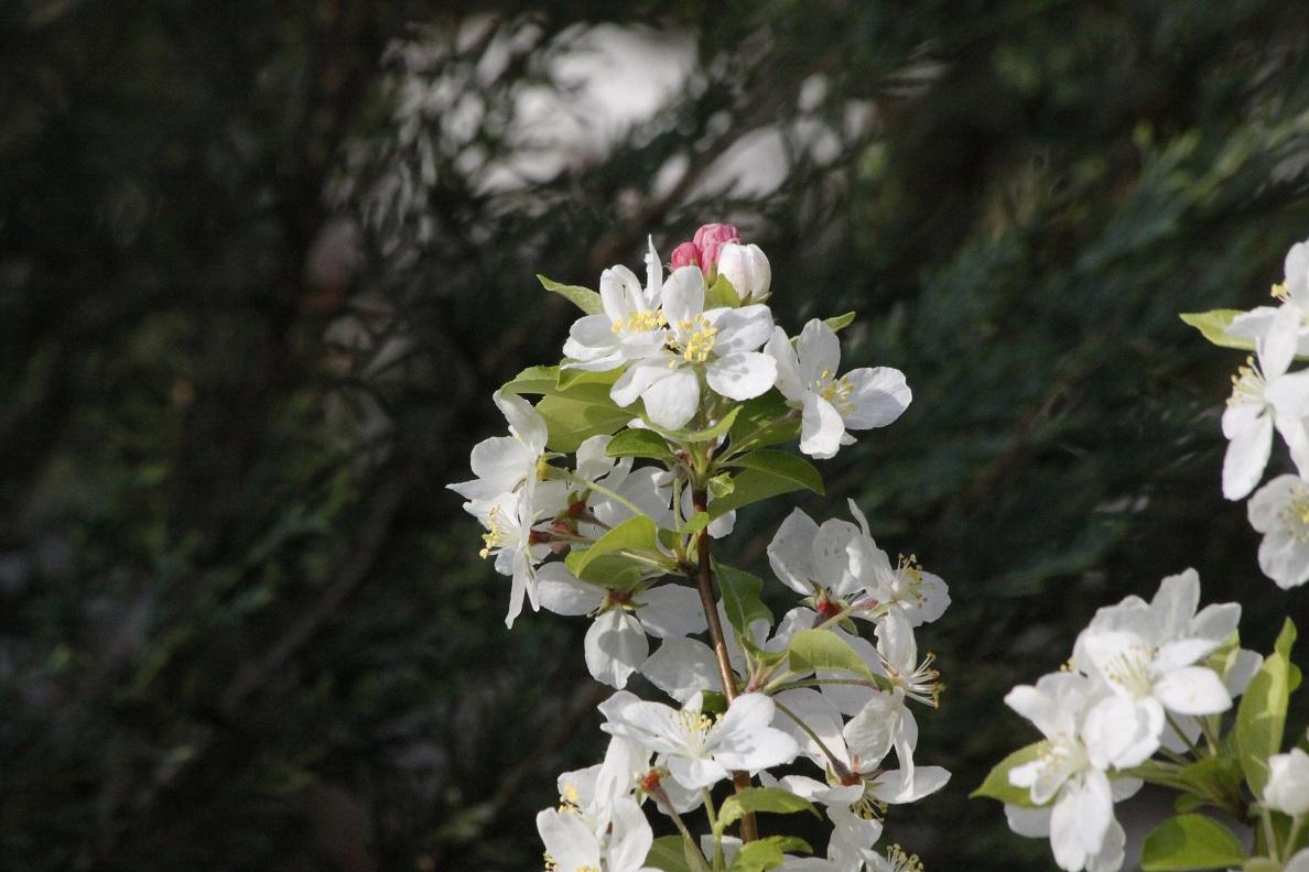 姫りんご_a0107574_7355549.jpg