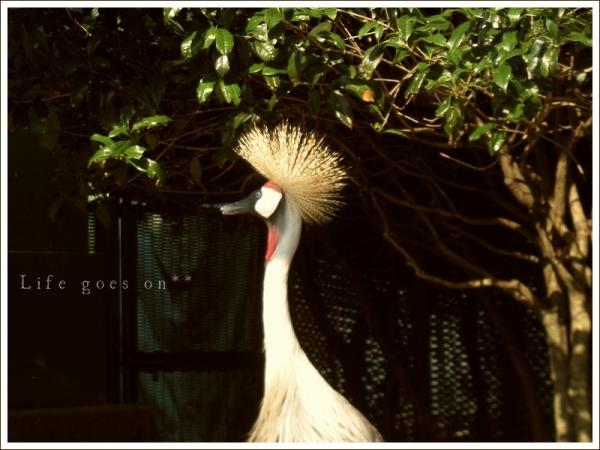 天王寺動物園 ホオジロカンムリヅル^^_b0155684_1658075.jpg